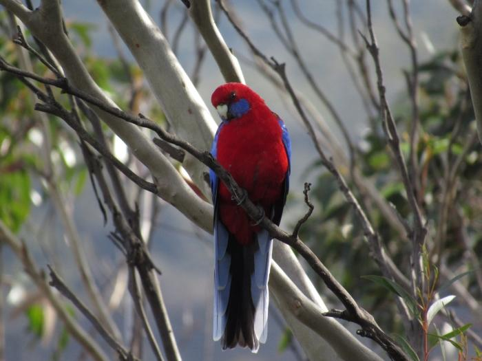 Getting up close to a crimson rosella.