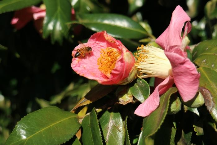 We used the burst mode to capture a bee that was hopping from flower to flower.